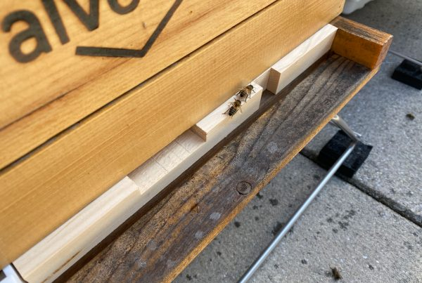 Two honeybees on the ledge of one of the Independence Blue Cross hives